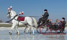 arrenslede bespannen met 2 witte paarden